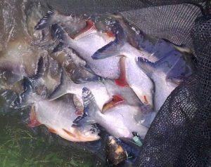Panen Ikan Bawal